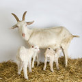 Goat and her kids Royalty Free Stock Photo