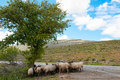 Goat herd keeping cool under tree Stock Photography