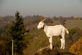 Goat on the hill Royalty Free Stock Photo