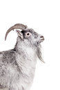Goat isolated on white portrait of background Stock Photos