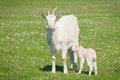 Goat and kid Royalty Free Stock Photo