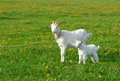 Goat with kid Royalty Free Stock Photo