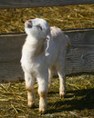Goat Kids 0901 Royalty Free Stock Images