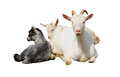 Goat and kids isolated on white Stock Images