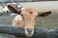 Goat looking through fence brown closeup head manger Stock Images
