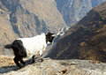 Goat looking over edge young the of a cliff at the yangtze river in tiger leaping gorge in yunnan province china Stock Photography