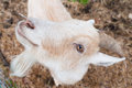 A goat looks up curiously curious on farm in new hampshire usa Stock Photo