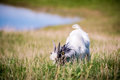 Goat in a meadow Royalty Free Stock Photo