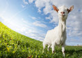 Goat on the meadow Royalty Free Stock Photo