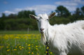 Goat on the meadow. Royalty Free Stock Photo