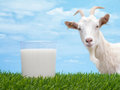 Goat Milk Stock Images