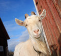 Goat mother Stock Photography