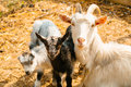Goat mother with kids Royalty Free Stock Photo