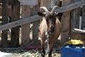 Goat On Nature Reserve At Skal...