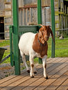 Goat on a porch in the morning sunshine Stock Photos