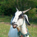 Goat portrait Royalty Free Stock Photos