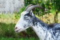Goat portrait white dotted she Stock Image