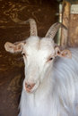 Goat portret a single white portrait Royalty Free Stock Images