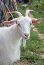 Goat portret a single white portrait Stock Photos