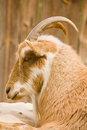 Goat in profile of a relaxing Royalty Free Stock Photo