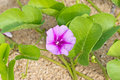 Goat s foot creeper or beach morning glory scientific name ipomoea pes caprae Royalty Free Stock Images