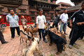 Goat sacrifice in kathmandu nepal oct people of preparing the goats for the animal for god durga durbar square during the Royalty Free Stock Photo
