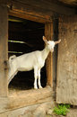 Goat in shed on a farm Stock Images