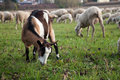 Goat and sheep flock Royalty Free Stock Photo