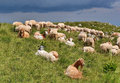 Goat and sheeps goats in carpathian mountains romania Stock Images