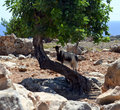 Goat on the tree in west region of crete Royalty Free Stock Photography