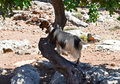 Goat on the tree in west region of crete Royalty Free Stock Photo