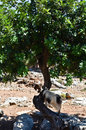 Goat on the tree in west region of crete Stock Images