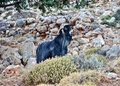 Goat in the west region of crete Royalty Free Stock Photo