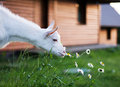 Goat white eat daisy on summer garden background Royalty Free Stock Photography