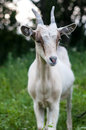 Goat white on a grass Royalty Free Stock Images