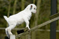 Goat a white kids climb Royalty Free Stock Photos