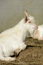 Goat white lying in front of the stall Royalty Free Stock Photography