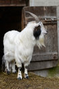 Goat white standind before shed Stock Images
