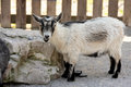 This is a goat at the zoo Royalty Free Stock Photography