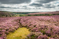 Goathland Moor Heather Royalty Free Stock Photo