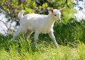 Goatling on meadow in summer time Stock Images