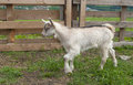 Goatling smalll on a farm outdoors Royalty Free Stock Photo