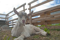 Goatling smalll on a farm outdoors Royalty Free Stock Image