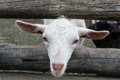 Goatling white closeup head through manger fence Stock Images