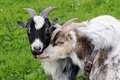 The goats Royalty Free Stock Photos