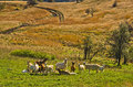 Goats at autumn coutryside landscape on a sunny day cemerno mountain central serbia Royalty Free Stock Images