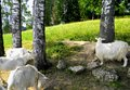 Goats chilling midday rest in wood shade Stock Photo