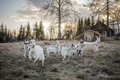 Goats in the countryside Royalty Free Stock Photo