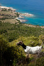 Goats on Cyprus Hills Royalty Free Stock Photos