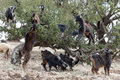Goats eating argan nuts in morroco morocco the from the trees Royalty Free Stock Images